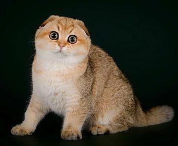Шотландская кошка окраса шеддер