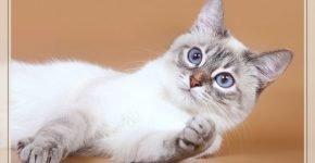 Тайская кошка сил-тебби-пойнт