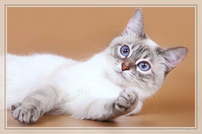 Тайская кошка окрасы