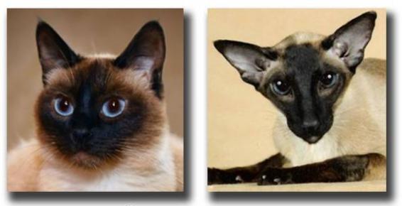 Тайская и современная сиамская кошки