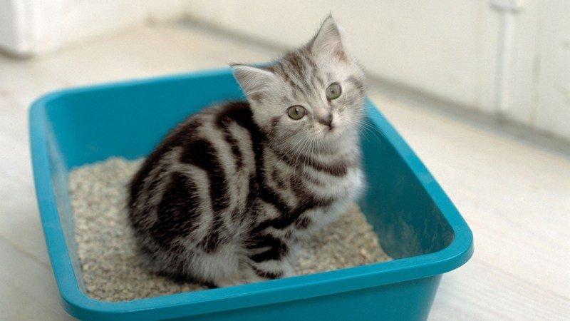 Как приучить котенка и кошку к лотку