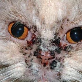 Лицевой дерматит персидских кошек