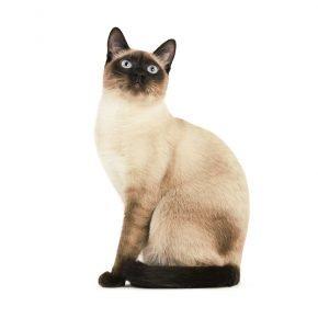 Тайская кошка классического окраса