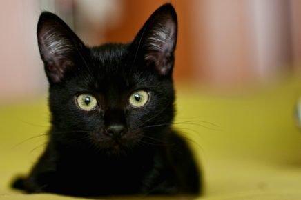 Кот чёрного цвета