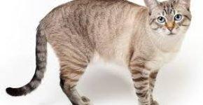Тайская кошка окрас блю пойнт