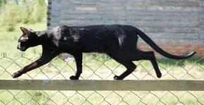 Ориентальная кошка идёт по забору