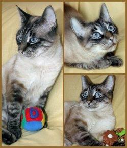 Тайская кошка: коллаж