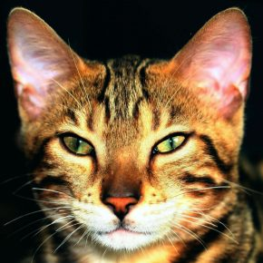 Мордочка бенгальской кошки