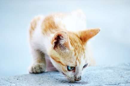 Едкая кошачья моча