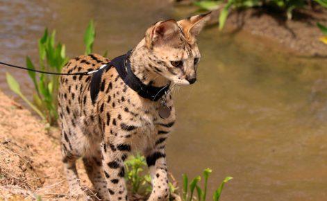 Кошка породы саванна на поводке