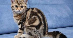 Британская кошка сидит на голубом фоне