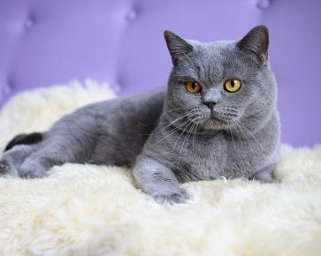 Британский кот лежит на белом покрывале, сзади — сиреневая спинка кожаного кресла