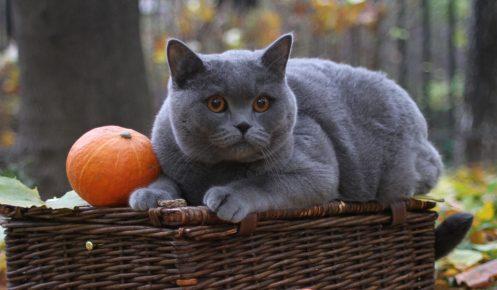 Кошка с тыквой