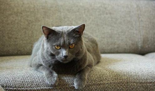 Кошка шартрез лежит на сером тканевом диване