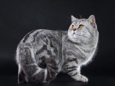 Британский кот мраморного окраса стоит на чёрном фоне, оглядываясь назад