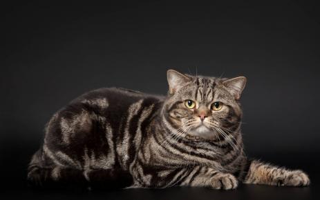 Британский кот расцветки чёрный мрамор лежит на тёмном фоне