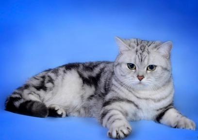 Британская мраморная кошка лежит на голубом покрывале
