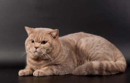 Британский кот окраса «лиловый мрамор» лежит на сером фоне