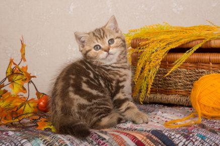 Шоколадно-мраморный котёнок-британец сидит рядом с колосьями и смотрит вверх