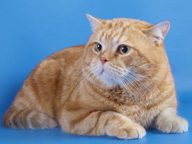 Британский кот с окрасом красный мрамор лежит на голубом фоне