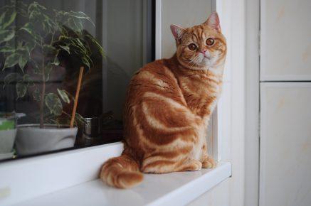 Британский кот с окрасом красный мрамор на серебре сидит на подоконнике и оглядывается назад