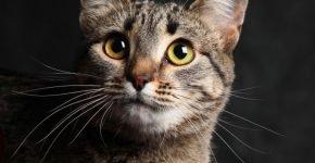 Мордочка Калифорнийской сияющей кошки