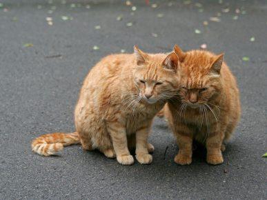 Рыжие кот и кошка