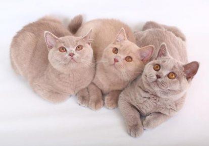 Три лиловых британца