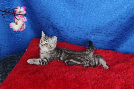 Британский мраморный котёнок лежит на красной подушечке под цветами сакуры