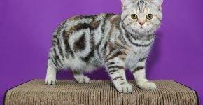 Мраморный британский кот стоит на плетёной подставке возле сиреневой стены