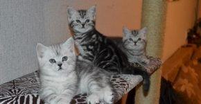 Три британских мраморных котёнка сидят в кошачьем домике