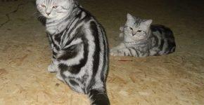Две британские мраморные кошки сидят на полу