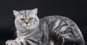 Британский мраморный кот лежит на тёмно-сером фоне