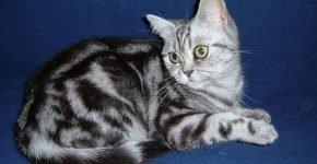 Британская кошка с окрасом мрамор на серебре сидит на синем фоне, оглядываясь назад
