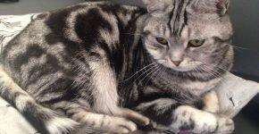 Британский мраморный кот сидит на лежаке, глядя вниз