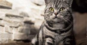 Британский кот с окрасом мрамор на серебре сидит, глядя вверх