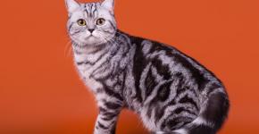 Мраморная британская кошка стоит на оранжевом фоне