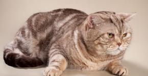 Британский мраморный кот кремовой расцветки лежит, расставив передние лапы