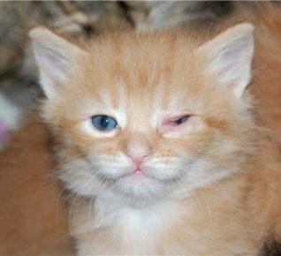 Конъюнктивит у котёнка