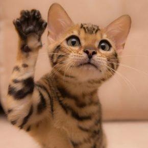 Котёнок с поднятой лапкой