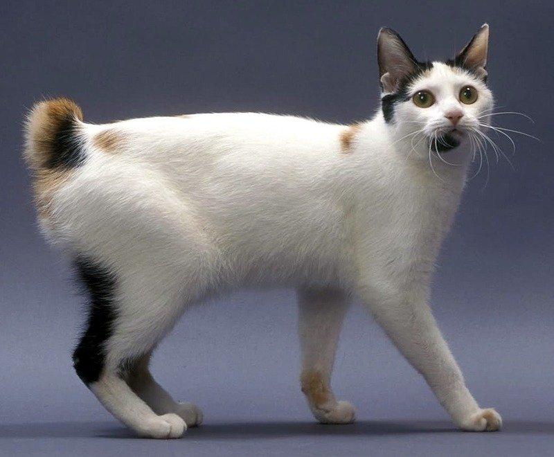 Японский бобтейл - характер и описание породы кошки