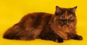 Черепаховый окрас длинношёрстной кошки