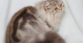 Длинношёрстная кошка мраморного окраса