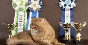 Британская длинношёрстная кошка окраса шоколадный тикированный