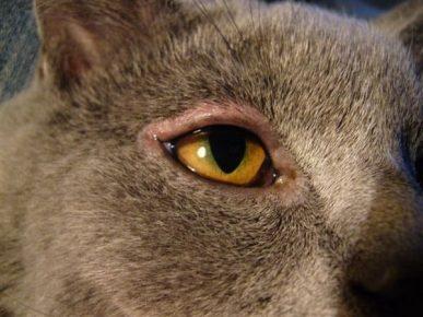 Блефарит у кошки