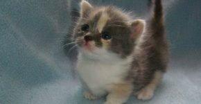 Котёнок манчкин