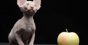 Котята минскины