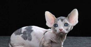 Котёнок бамбино
