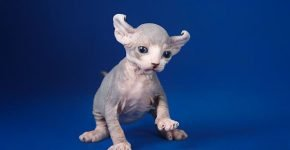 Котёнок двэльф