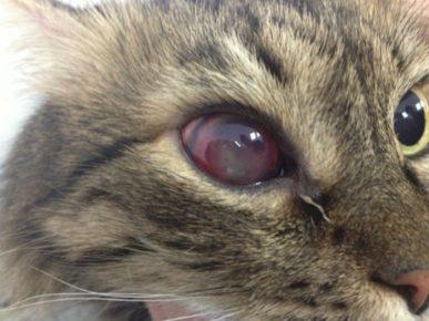 Панофтальмит у кошки